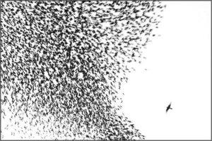 Starlingsandfalcons