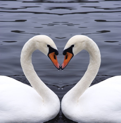 Weddingswans